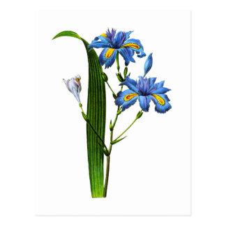 Carte Postale Iris Frangee par Joseph Pierre Redoute