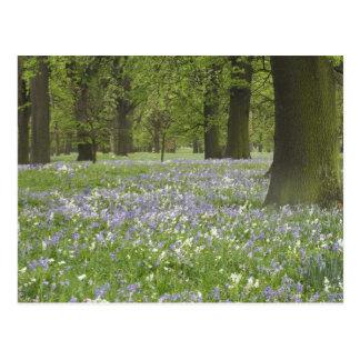 Carte Postale Jacinthes des bois et chênes au printemps, peu de