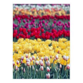 Carte Postale Jardin d'affichage de tulipe dans la vallée de