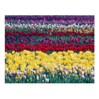 Carte Postale Jardin d'affichage de tulipe dans le comté de