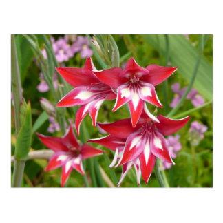 Carte Postale Jardin rouge et blanc d'été de Gladiolas floral