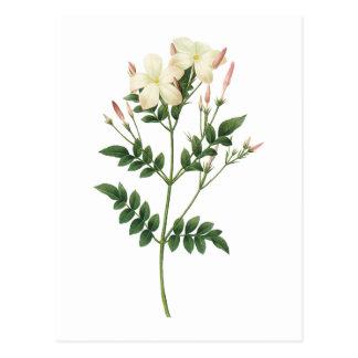 Carte Postale jasmin (grandiflorum de Jasminum) par Redouté