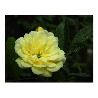 Carte postale jaune de rose de Banksia