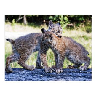 Carte Postale Jeu de chatons de Lynx de Canadien