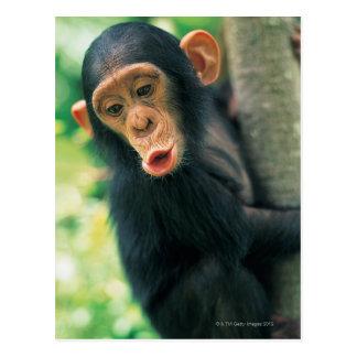 Carte Postale Jeune chimpanzé (troglodytes de casserole)