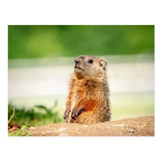 Carte Postale Jeune Groundhog