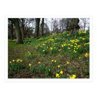Carte Postale Jonquilles. Jardins de Sophia, Cardiff, Pays de