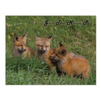 Carte Postale Kits grands de Fox de parc national de Teton