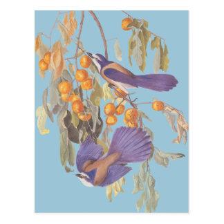 Carte Postale La Floride bleue frottent des oiseaux d'Audubon de
