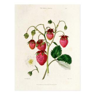 Carte Postale La fraise de Roseberry, gravée par Watte