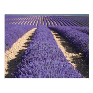 Carte Postale La France, Provence. Rangées de lavande en fleur.