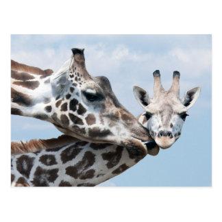 Carte Postale La girafe de mère embrasse son veau