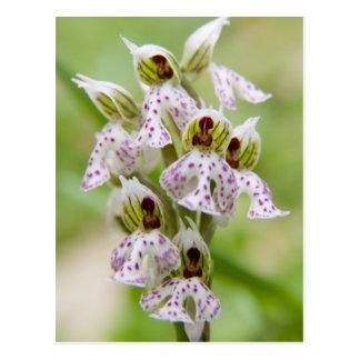 Carte Postale La Grèce, Crète. Orchidée en fleur Orchis