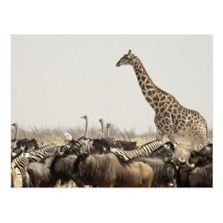 Carte Postale La Namibie, parc national d'Etosha. Une girafe