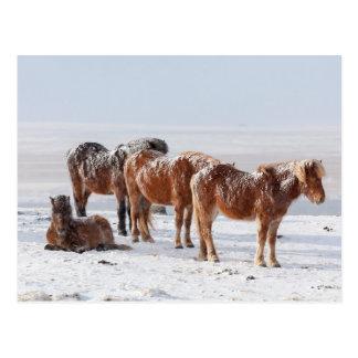 Carte Postale La neige a couvert les chevaux islandais