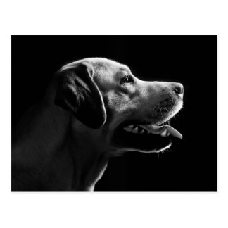 Carte Postale Labrador