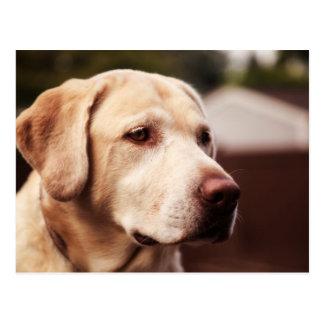 Carte Postale Labrador retriever
