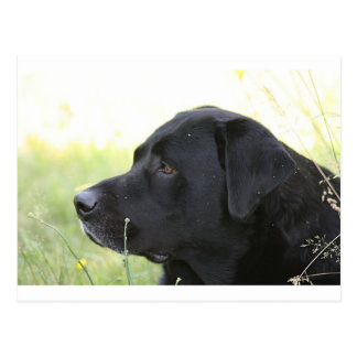 Carte Postale Labrador Retriever