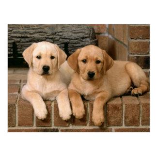 Carte Postale Labrador retriever jaune