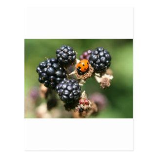 Carte Postale Ladybird sur des mûres