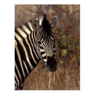Carte Postale L'Afrique, Afrique du Sud, portrait de zèbre de