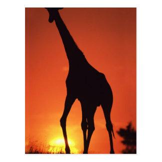 Carte Postale L'Afrique du Sud, Kruger NP.  Girafe (Giraffa