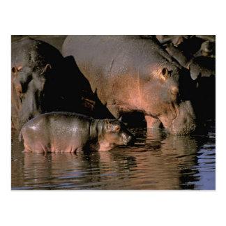 Carte Postale L'Afrique, Kenya, masai Mara. Hippopotames communs