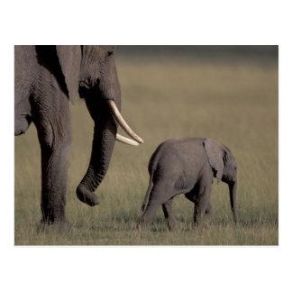 Carte Postale L'Afrique, Kenya, parc national d'Amboseli.