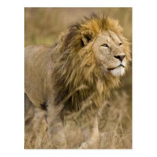 Carte Postale L'Afrique. La Tanzanie. Lion masculin chez