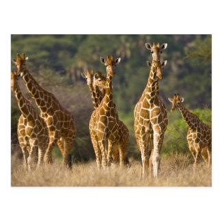 Carte Postale L'Afrique. Le Kenya. Troupeau de girafes