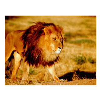 Carte Postale L'Afrique, Namibie, Okonjima. Lion masculin