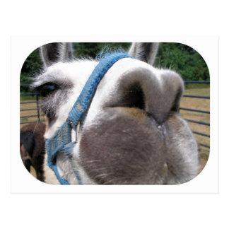 Carte Postale Lama fouineur