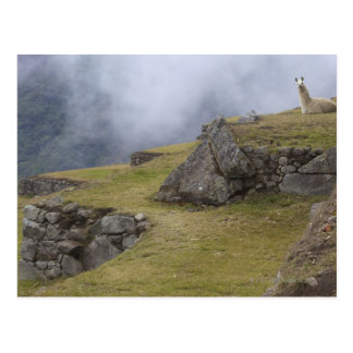 Carte Postale Lama (glama de lama) parmi les terrasses d'Inca à