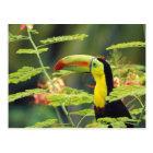Carte Postale L'Amérique Centrale, Honduras. toucan