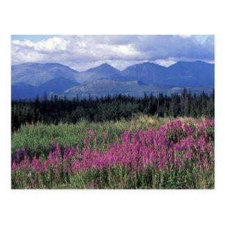 Carte Postale L'Amérique du Nord, Canada, le Yukon. Fleurs de