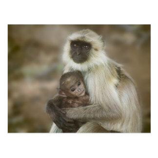 Carte Postale Langurs de Noir-visage, mère avec le bébé, dedans