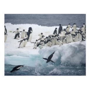 Carte Postale L'Antarctique, île de Paulet. Pingouins d'Adelie