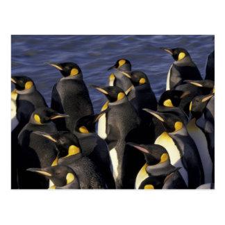 Carte Postale L'Antarctique, île du sud de la Géorgie. Pingouins