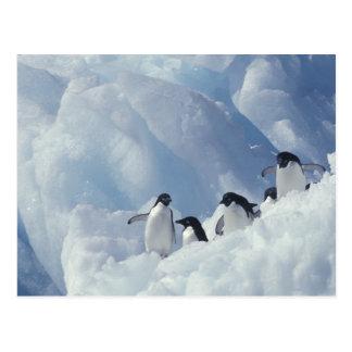 Carte Postale L'Antarctique. Pingouins d'Adelie