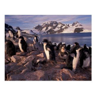 Carte Postale L'Antarctique, poussins de pingouin d'Adelie