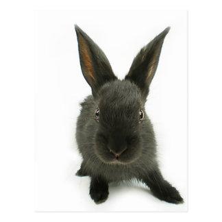 Carte Postale lapin noir