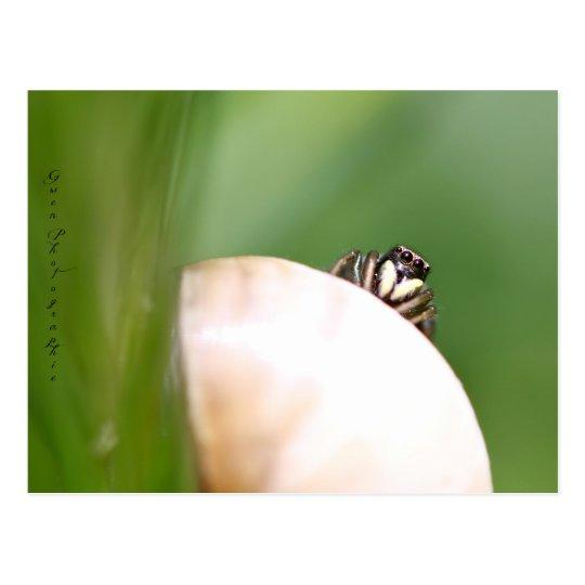 """Carte Postale L'araignée saltique """"la sauteuse"""""""