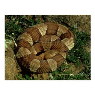 carte postale large-réunie de serpent de