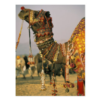 Carte Postale L'Asie, Inde, Pushkar. Chameau Shamu, Pushkar