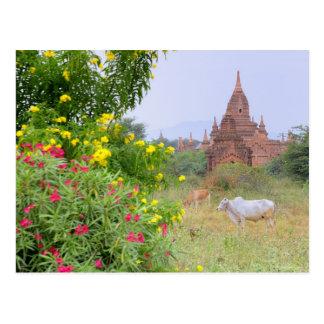 Carte Postale L'Asie, Myanmar (Birmanie), Bagan (païen). Vaches