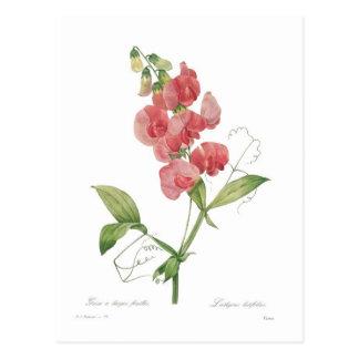 Carte Postale Latifolius de Lathyrus