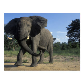 Carte Postale Le Botswana, parc national de Chobe, Taureau