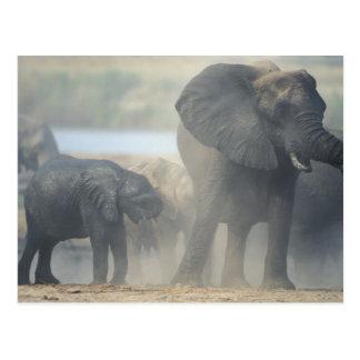 Carte Postale Le Botswana, parc national de Chobe, troupeau 2
