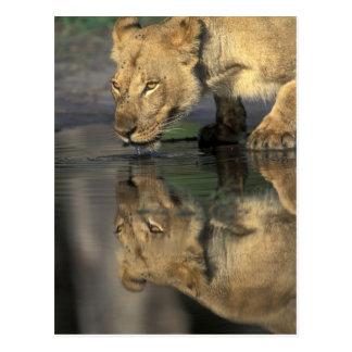 Carte Postale Le Botswana, réservation de jeu de Moremi, lionne