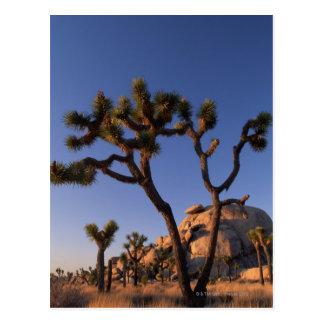 Carte Postale Le cactus et le casquette de Cholla basculent,